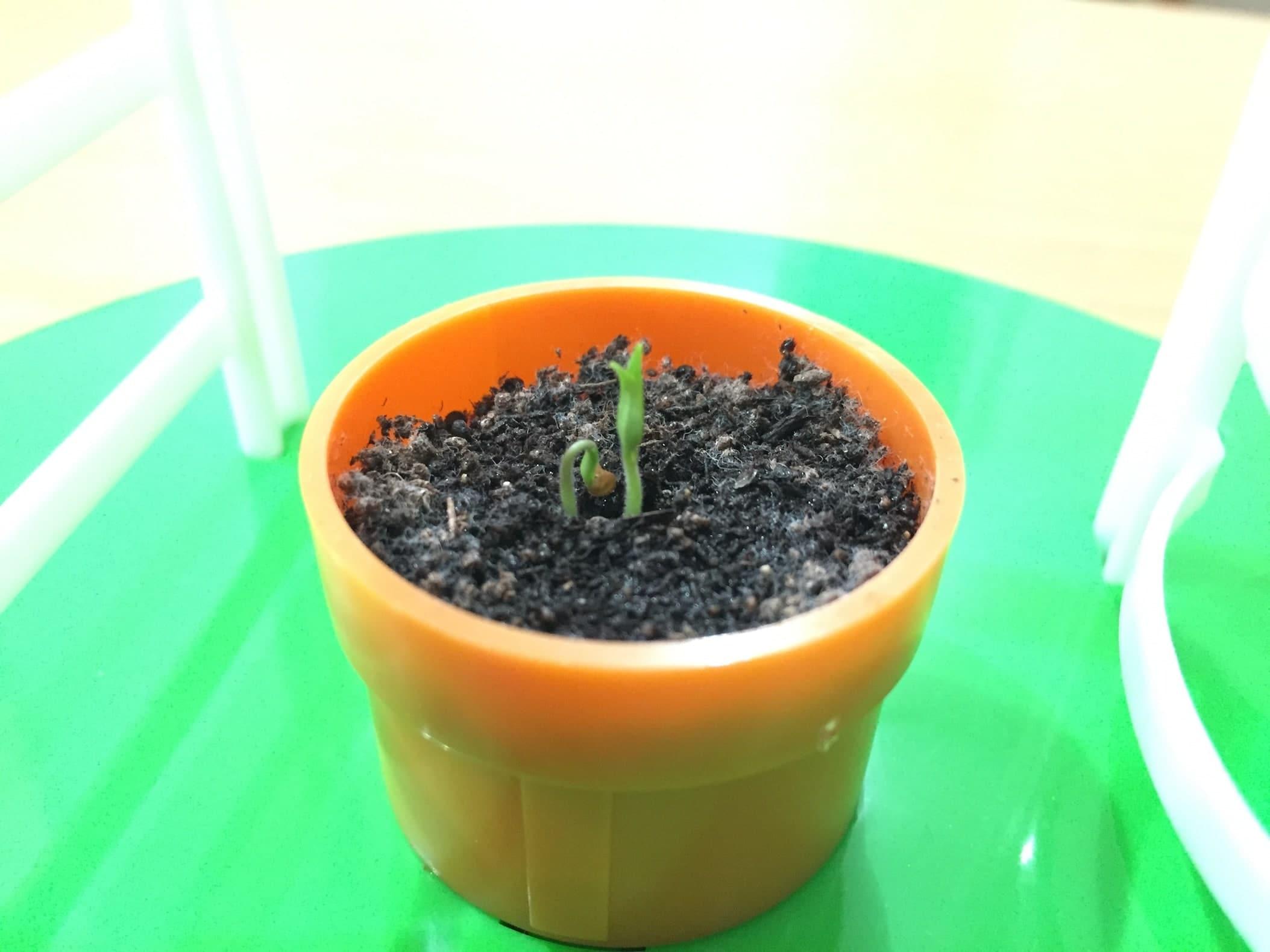 トマト02 成長01 発芽