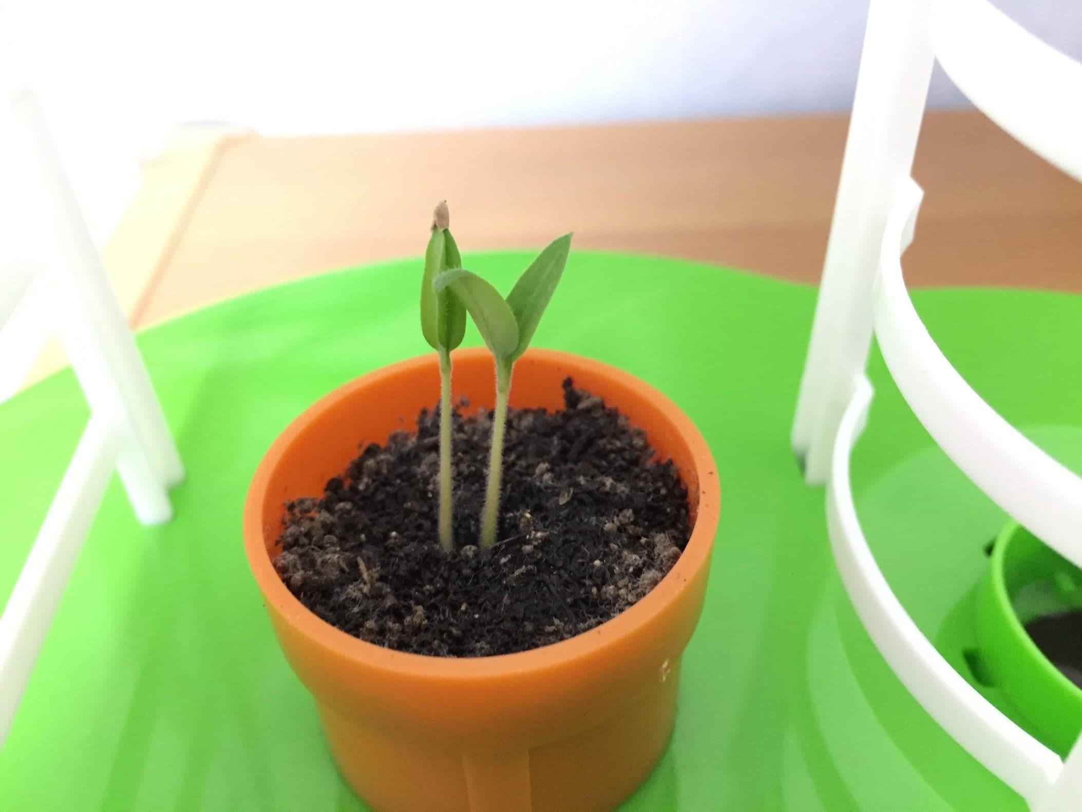 トマト02 成長03