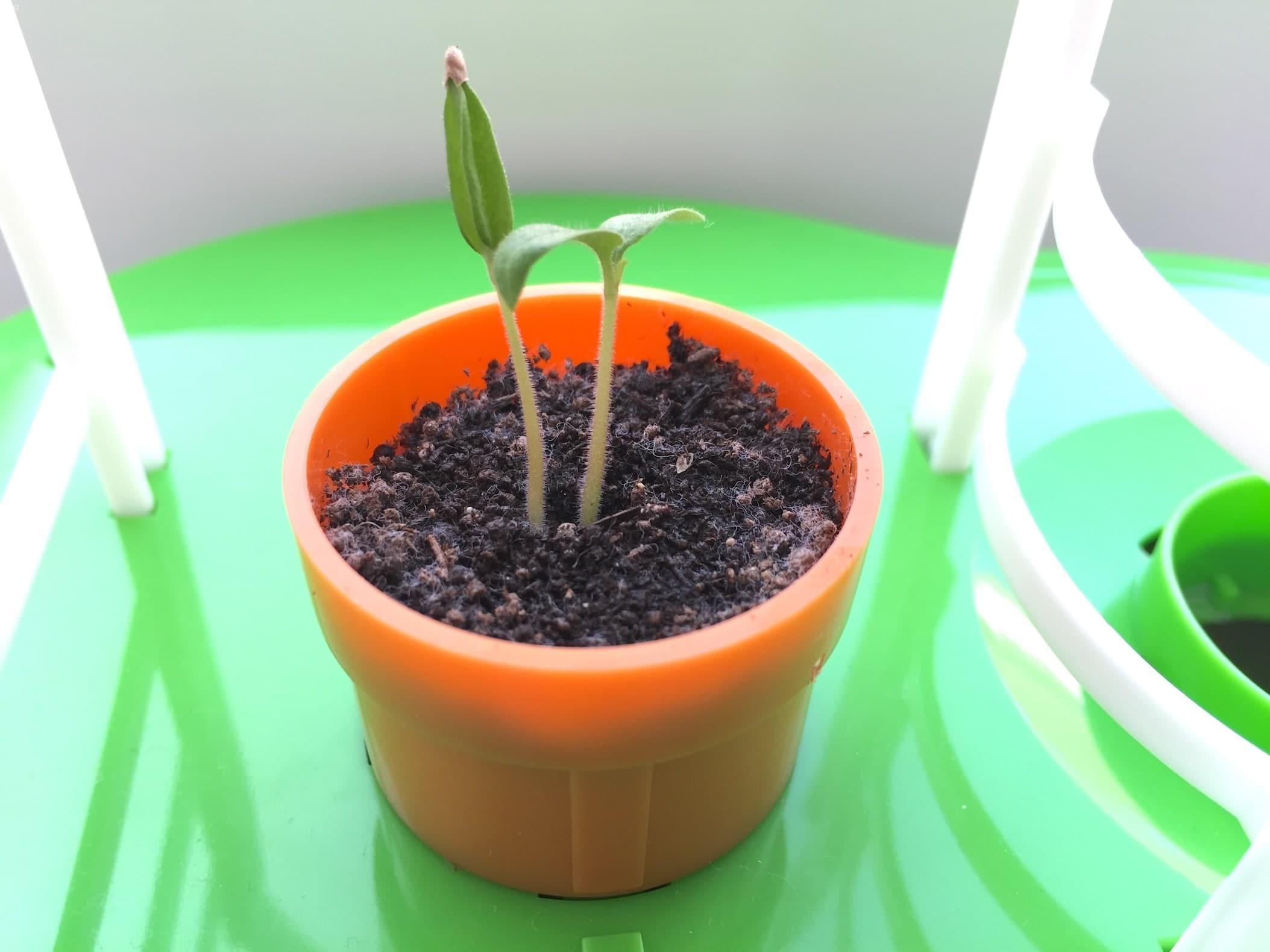 トマト02 成長04