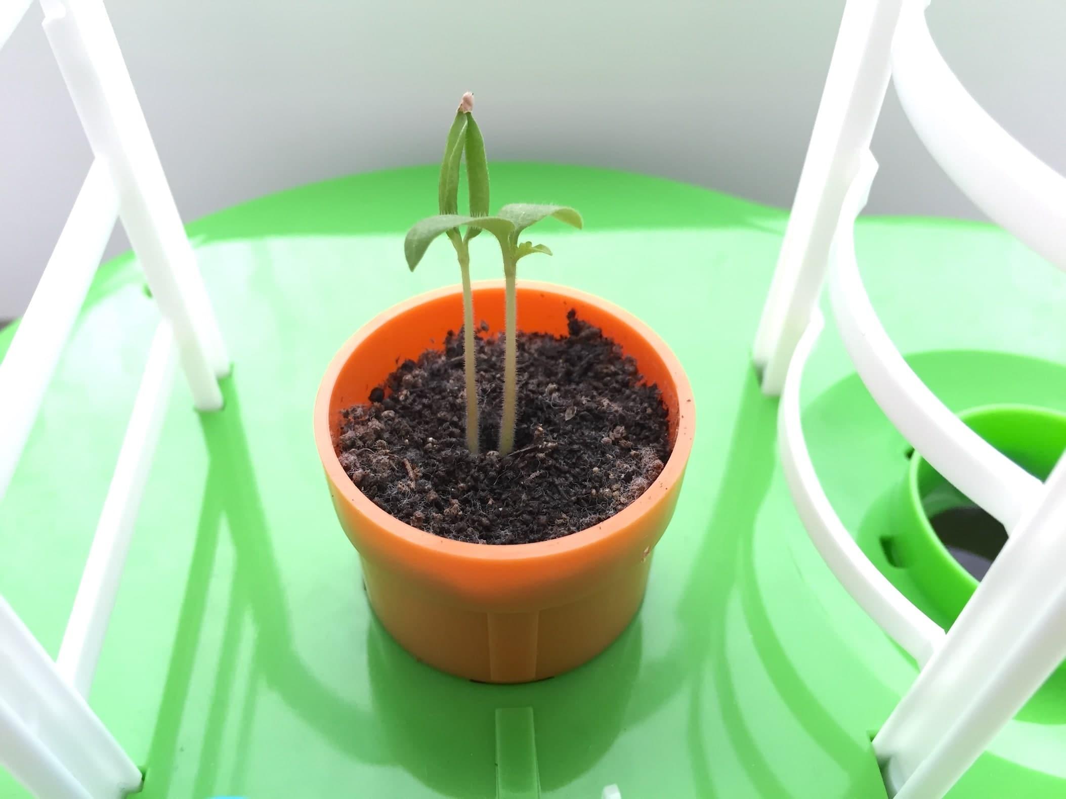 トマト02 成長05