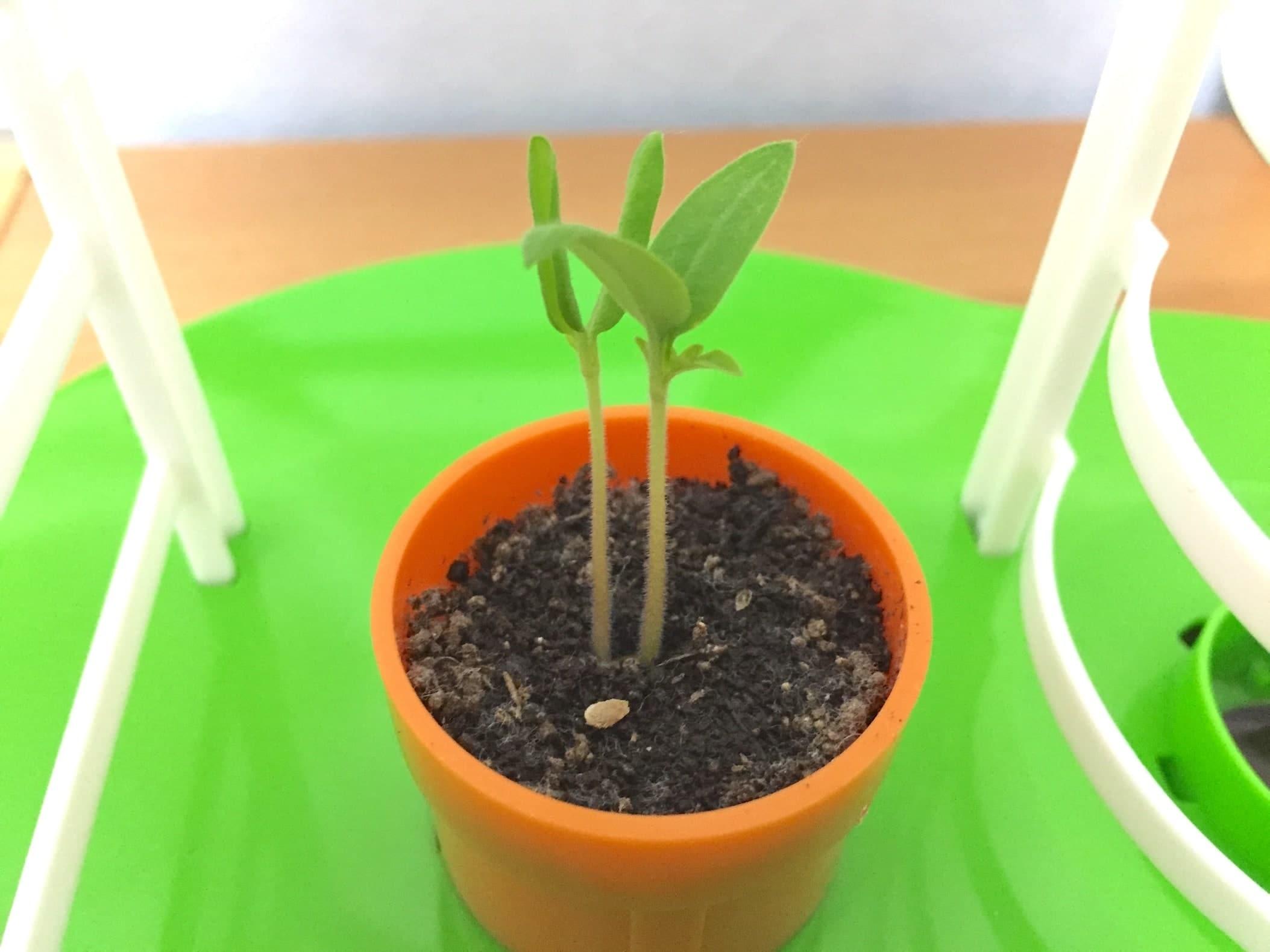 トマト02 成長06