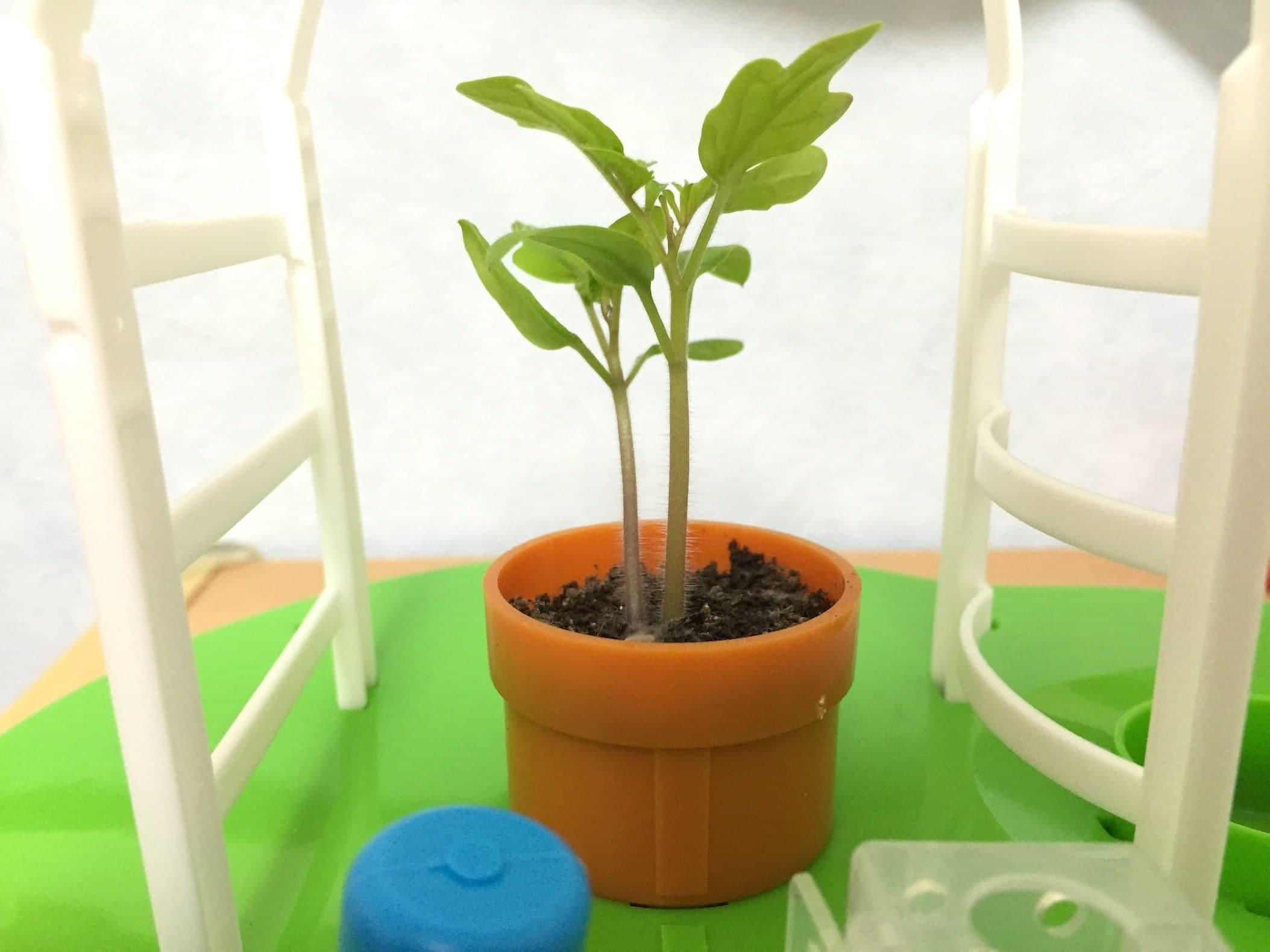 トマト02 成長08