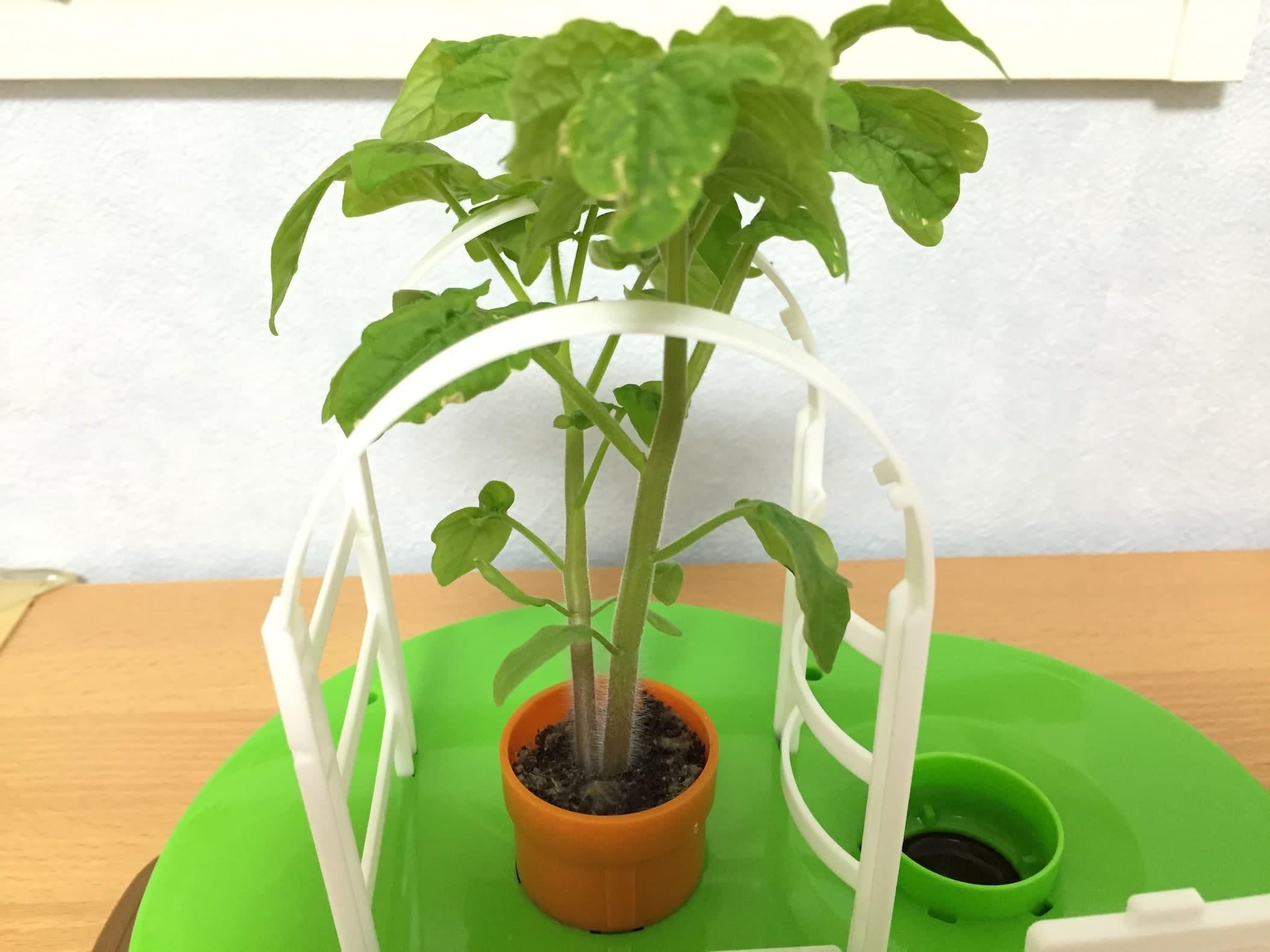 トマト02 成長13
