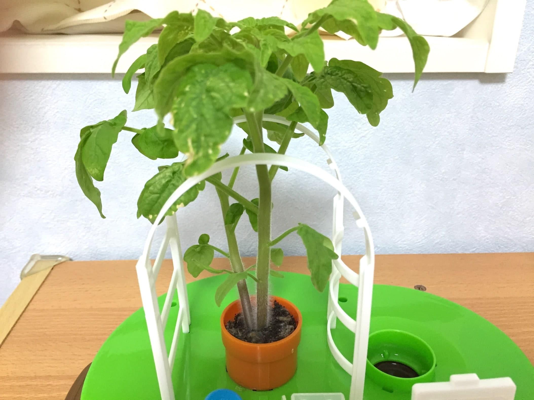 トマト02 成長14